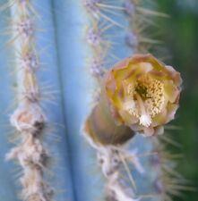 CACTUS AZUL pilosocereus ORIGINAL true  blue cactus cacti  semillas frescas