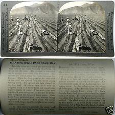 Keystone Stereoview of Planting Sugar Cane in Lima, PERU From 600/1200 Card Set