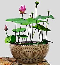 Nelumbo nucifera Samen, chinesische Mini Lotusblume, Bowl Lotus, Schüssel Lotus
