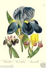 Flower Poster..Vintage Flowers Botanical plate, Iris, 1812