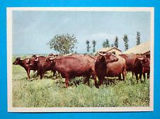 Figurina Panini-ANIMALI DI TUTTO IL MONDO 1965-n.125-BUFALO MAREMMANO-rec