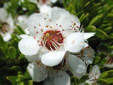 'MANUKA' Leptospermum polygalifolium,Honey,Bush Tucker,Medicinal,Herb,Fruit tree