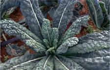 LACINATO (200 - 30K) Seeds Dinosaur KALE Black Tuscany Nero di Toscana forage