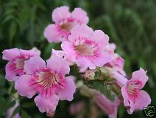 RARE 20 graines BIGNONE ROSE(Podranea Ricasoliana)G591 QUEEN OF SHEBA SEED SAMEN