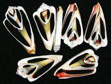 "Sliced,Center Cut,Swirl, Strawberry Strombus 1-1/2""-2"" Shells~10/25/50 Pcs."