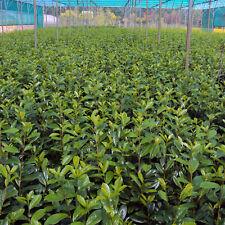 Kirschlorbeer Novita - Containerpflanzen im großen 4 ltr. Topf