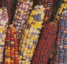 Ornamental Corn Seed: Ornamental Indian Corn Seed Fresh Seed  FREE Shipping