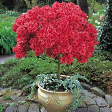 Azalea japonica Hardy Shrub Garden Plant Japanese Red Standard 60-80cm Tall T&M