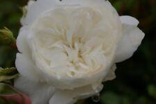 Bodendeckerrose Snow Ballet® - Rosa Snow Ballet® - Moderne Kleinstrauchrose - re