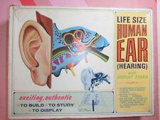 ANATOMIA HUMANA MAN ANATOMY MODEL Human Ear Hearing lab Life size Pyro
