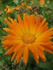 50 RADIO MARIGOLD English Calendula Officinalis Seeds + Gift & Comb S/H