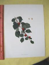 Vintage,Print,CHERRIES OF NEW YORK,Prunus Tomentosa
