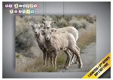 Poster Mouflon D'amérique Ram De Bighorn Cornes
