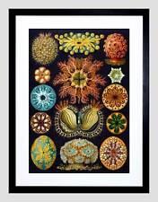 NATURE HAECKEL ERNST PLANKTON SEA BIOLOGY GERMANY VINTAGE ART PRINT B12X2852