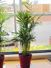 1pot Vertical Palm Salón Chamaedorea Evergreen Casa Oficina planta Bambú Familia