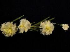 Vintage Millinery Flower White Bachelor Button Cornflower Hat Wedding Hair Y142