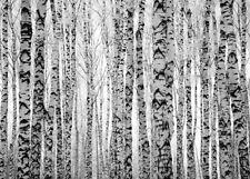 Fototapete Birkenwald Birken Wald - Kleistertapete oder Selbstklebende Tapete