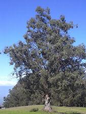 25 TASMANIAN BLUE GUM TREE / EUCALYPTUS Globulus Flower Seeds *Comb S/H & Gift