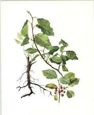 1914 Alno Nero botanico Acquerello Signora Perrin Art Print