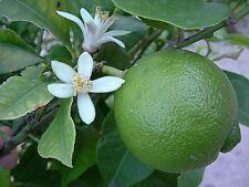 Pure Lime huile essentielle Citrus aurantiifolia Sauvage naturel artisanal NO1 i...