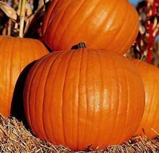 Pumpkin Seeds, Connecticut Field, Heirloom Pumpkin Seeds, Non-Gmo Seeds, 30ct