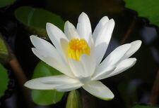 Nymphaea alba European White Water Lily Flower Seeds Aquatic Plant Star Shape