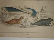 c1850 HAND COLOURED CUVIER GOLDSMITH PRINT ~ SEALS