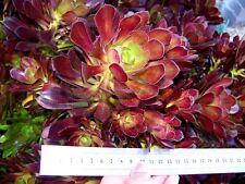 Aeonium Arboreum SCHWARTZKOPF Succulent Plant / Cuttings +Roots Drought Tolerant