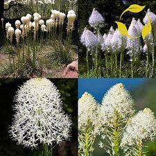 Indian Basket Grass Xerophyllum Tenax 10,20,40 Seeds