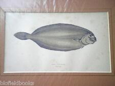 Solla anticuario largo, impresión de pescado plano c1880 mano color, peces/Pesca