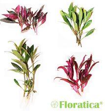 HYGROPHILA Corymbosa & Alternanthera Rosaefolia Live Aquarium Plants Fish Tank