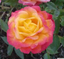 Miniature Rose Live Plants
