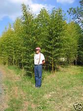 "1 PHYLLOSTACHYS AUREA BAMBOO PLANT RHIZOME 12""Lx1/2""W -GOLDEN/FISHING POLE"