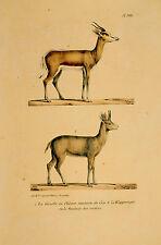 """Gazelle et chèvre de l'""""Histoire Naturelle... """"publié à Paris vers 1830."""