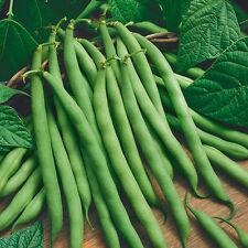 2017 Heirloom Provider Bush OP  Bean Seeds