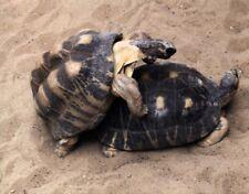 Ansichtskarte: zwei Schildkröten bei der Paarung - mating turtles