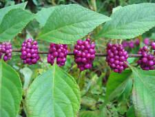 American Beautyberry, Callicarpa americana, Seeds (Fast, Showy)