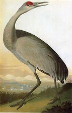 Audubon Reproductions: Birds of America: Hooping Crane: Fine Art Print