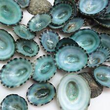 "Green Limpet Shells Craft Sea Shells, 1/2""-1"" Free Shipping"