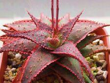 Aloe Christmas Carol @ red color hybrid succulent rare agave cacti seed 50 SEEDS