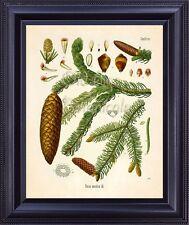 KOHLER Botanical Print Antique Art Norway European Spruce Pine Large Cone BF0705