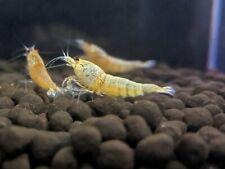 Golden Bee Shrimp_Gold Crystal Shrimp_Live Aquarium Shrimp_Free Shipping!