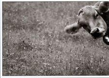 Ansichtskarte in schwarz-weiß: eine recht neugierige Kuh - a curious cow