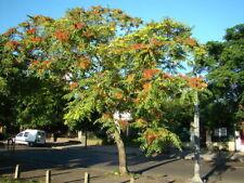 Tree of Heaven, Ailanthus altissima, Tree Seeds (Hardy, Fast, Bonsai)