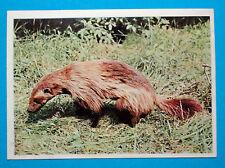 Figurina Panini-ANIMALI DI TUTTO IL MONDO 1965-n.112-GHIOTTONE-rec