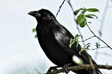 Crow Bird Nature Environment Landscape HD POSTER