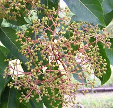 Bienenbaum Euodia hupehensis (Tetradium daniellii) Tausendblütenbaum Honigesche