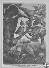 Meisen Tannenmeise Goldhähnchen HOLZSTICH von 1881