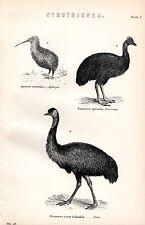 1880 print ~ histoire naturelle struthiones ~ aptéryx casoar émeu