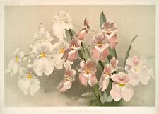 Odontoglossum Vexillarium By Joseph Sander Floral Print